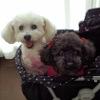 トイプードル、ラブ(黒)&ハッピー(白)♪愛犬自慢!