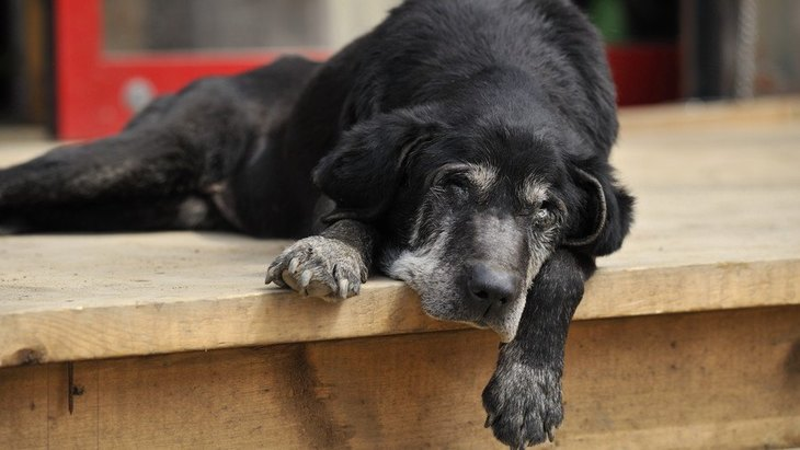 老犬がかかりやすい!犬の『クッシング症候群』の初期~末期症状