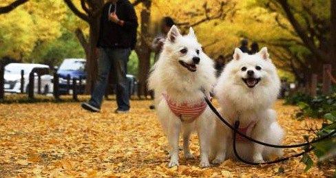 【神宮外苑】愛犬といちょう並木散策&シェイクシャックでランチ