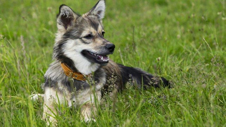希少な犬種4選!現存する頭数が少ない珍しいワンコたち