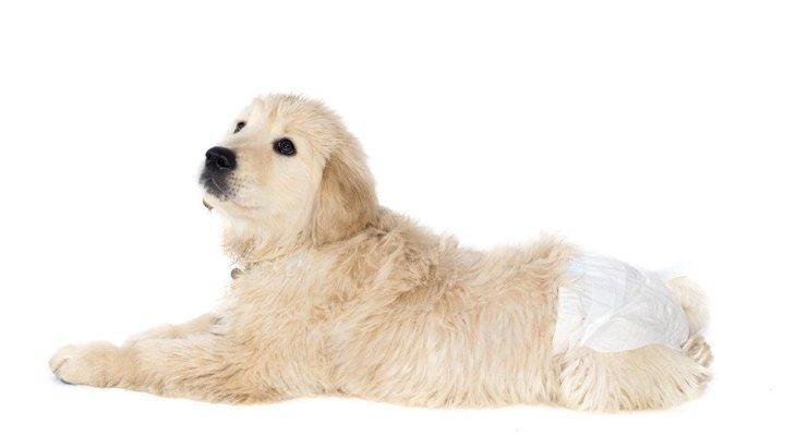 犬の生理(ヒート)はいつから?症状と期間、周期や病気の見分け方から対処法まで