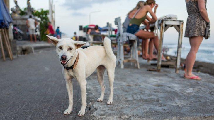 バリ島の犬たち、路上の犬と家庭の犬を比較した研究結果