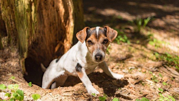 狩猟犬は遭遇した動物によって吠え方が違うことについての調査結果