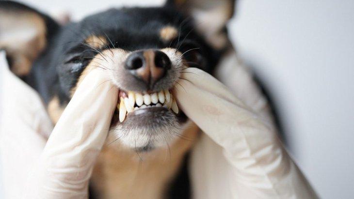 犬も「歯ぎしり」をする?口からギリギリ音がする原因と対処法
