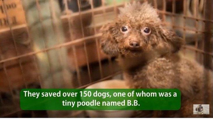 「パピーミル(子犬工場)」の犬達の現実をあなたは知っていますか?