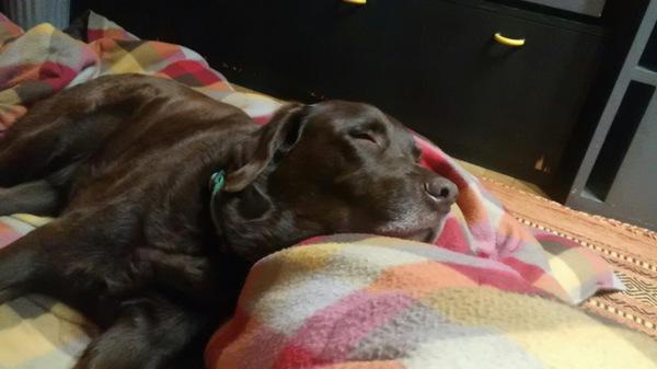 大型犬・ラブラドールレトリバーの魅力!癒しと豊かな感情表現