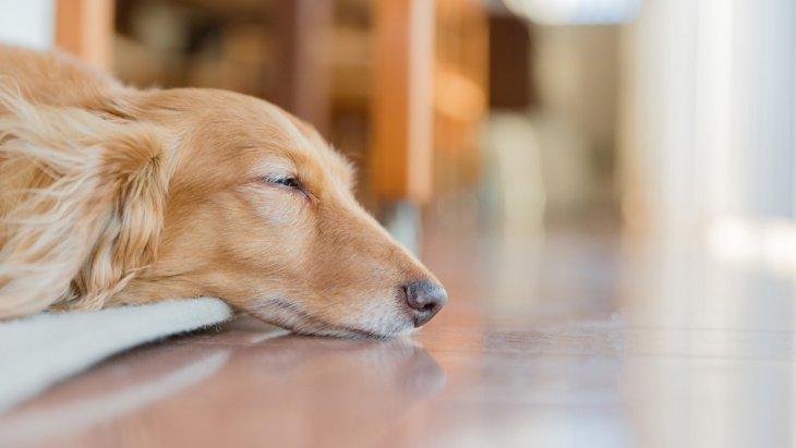「今、室内犬が危ない!」8割が足腰になんらかの問題を抱えている!