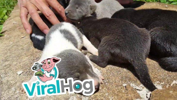 母犬が排水溝で出産直後に大雨!8匹の子犬は無事!?