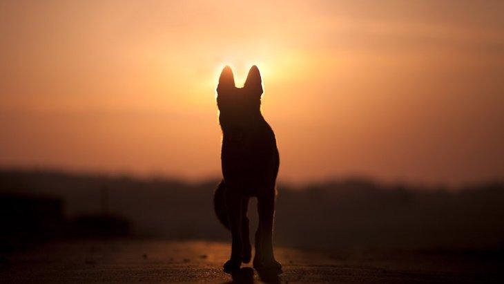 肥後狼犬ってどんな犬?日本の「ウルフドッグ」と呼ばれるその魅力とは