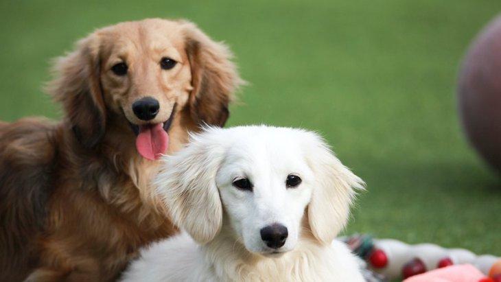犬の被毛の色を決める遺伝的要素が特定された!