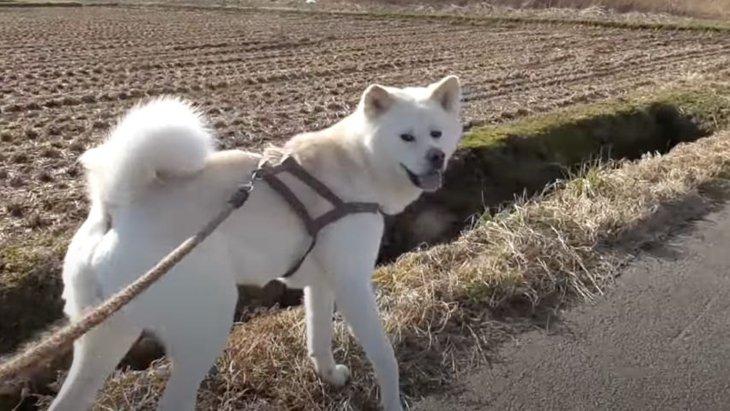 飼い主さんにズルされようがダッシュで負けることがない秋田犬くん