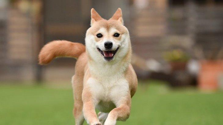 犬がしっぽを振りながら吠えてくる心理3選!喜んでるの?それとも怒ってる?
