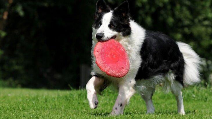 ボーダーコリーの成犬の大きさは?