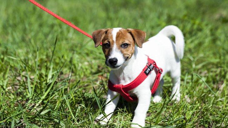 小型犬のハーネスの選び方とおすすめ商品とは!選び方とその注意点