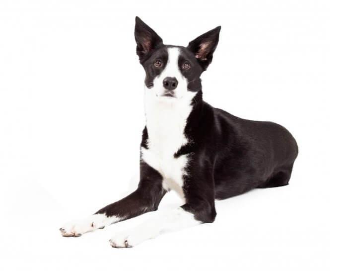 ボーダーコリーのスムースってどんな犬?性格や特徴まとめ