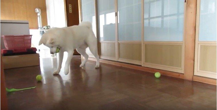 うほほーい!テニスボールで楽しく遊ぶ秋田犬