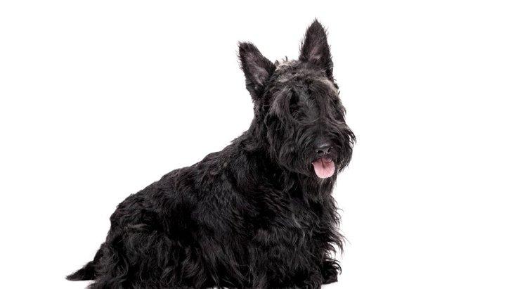 スコティッシュテリアはどんな犬?性格や子犬の価格、寿命からしつけ方まで