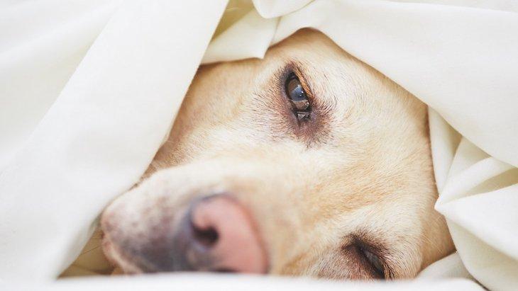 犬がうつ伏せでお尻だけをあげた姿勢は体調が悪い合図?