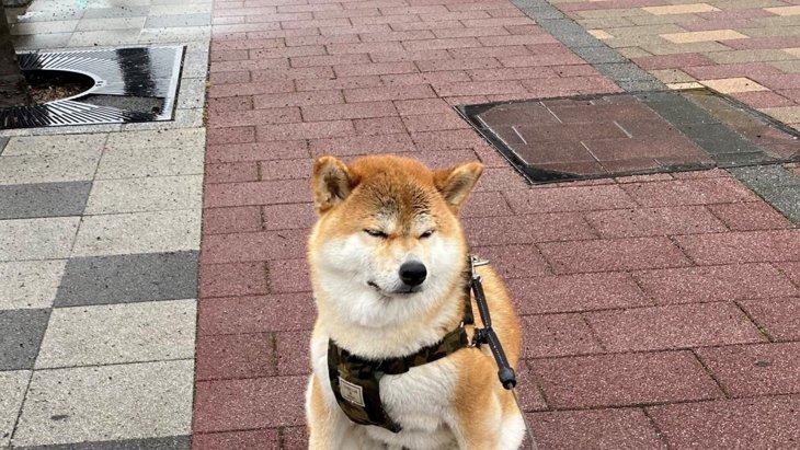 雨のせい?『見たことのない座り方』をする柴犬さんが話題