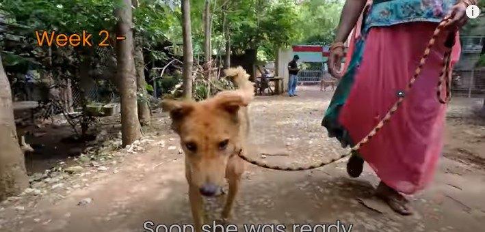 腹部に巨大な腫瘍がある老犬。危機的状態から救われた命