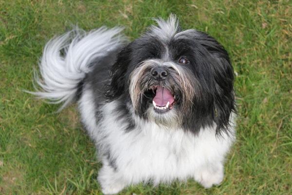 ポーリッシュローランドシープドッグはポーランド生まれの牧羊犬