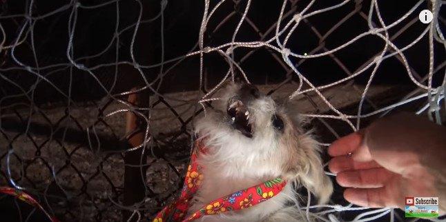 網でつかまえた小型犬はまだ乳歯の子犬だった!小さな牙に気をつけて