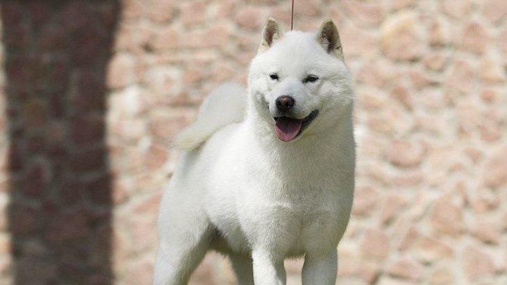 日本犬は育てるのが難しい?しつけがうまくいかないって本当?