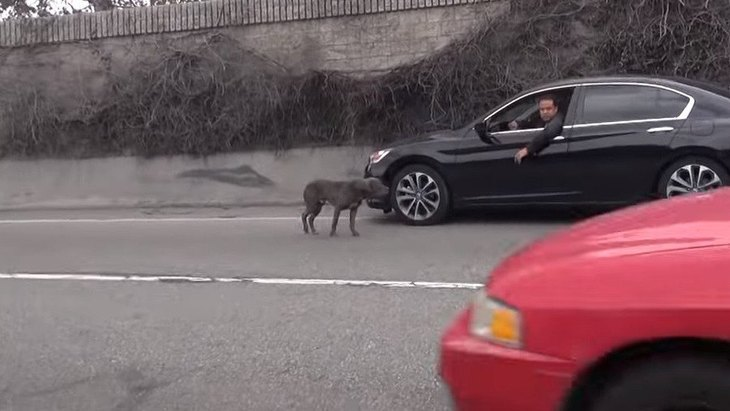 「高速道路に犬がいる!」危険な場所をさまようピットブルの保護