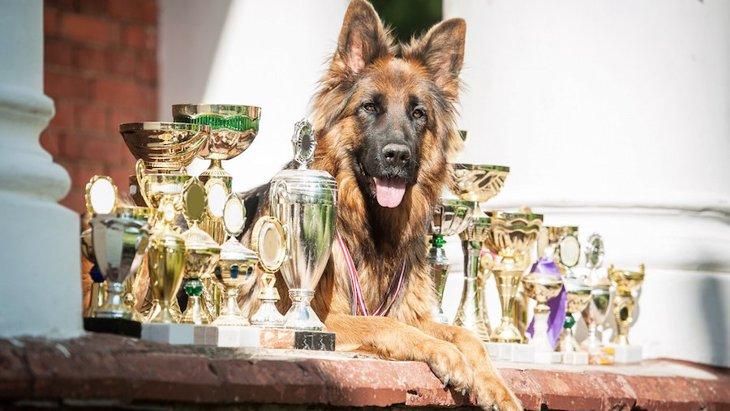 チャンピオン犬とは?主な基準や条件、必要性について