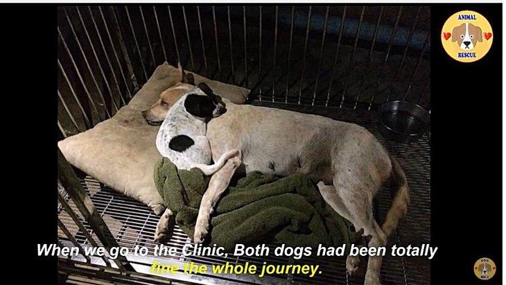 救出劇:交通事故に遭った母犬には寄り添う仔犬がいた!