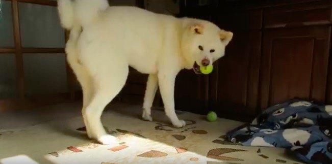 ボールラブな秋田犬。でも本当に好きなのは・・・?
