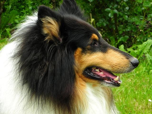 コリー犬は穏やかな性格で、気品のある『エレガンスさ』が魅力!