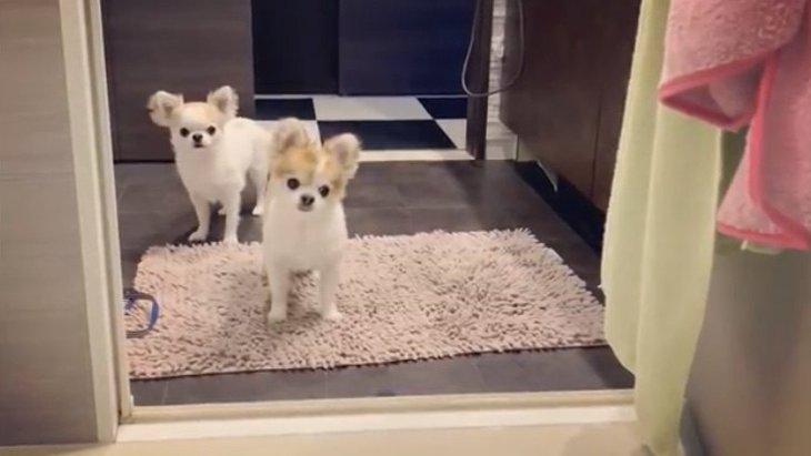 入浴中の飼い主の様子を見にくるチワワ姉妹