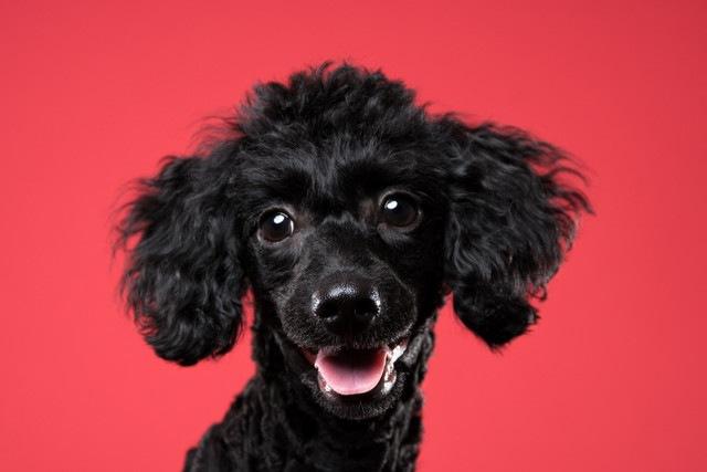 犬の視覚と人間の赤緑色盲研究の意外な関係