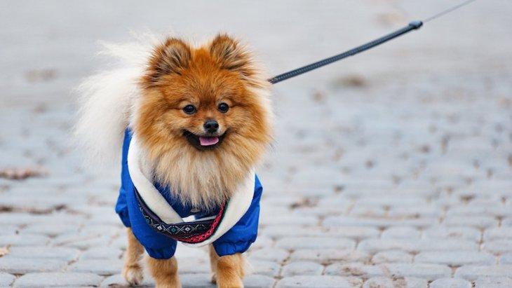 犬に服は必要?愛犬のサイズの計り方と服の素材や種類の違いとは?