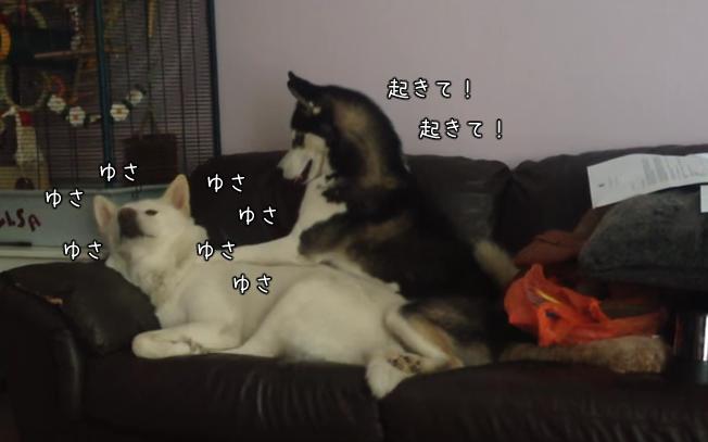 「ねえ、起きて!」どうしても遊びたいハスキー犬と眠たいミックス犬!(まとめ)
