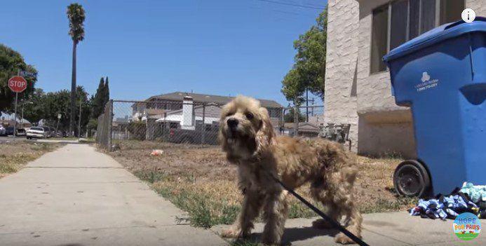 野良のコッカ―スパニエルを保護。その犬の目はチェリーアイだった