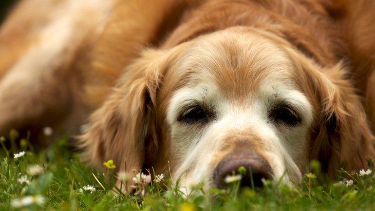 「老犬介護」で大変な5つのこと