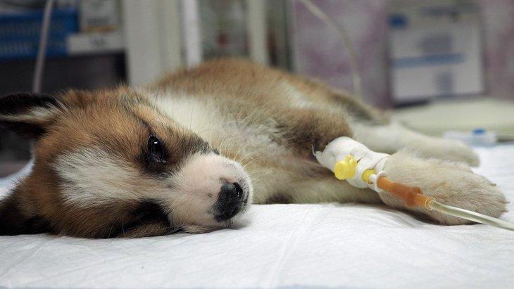 犬の敗血症とは?症状や原因、唾液やキスの注意!人に移る感染症