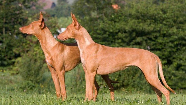 ファラオハウンドってどんな犬?特徴と性格、子犬の価格や歴史、かかりやすい病気まで