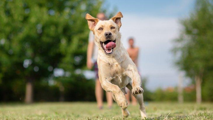 世界一足が速い犬種とは?【時速50㎞超えも】