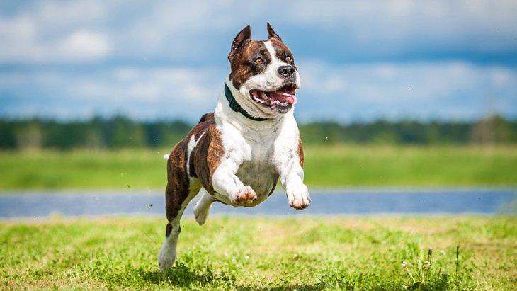 アメリカで生まれた犬種5選