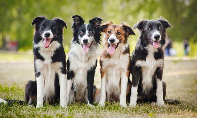 ボーダーコリーの犬種情報