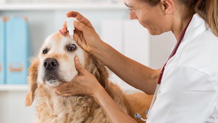 犬の角膜潰瘍について ~原因と症状、予防や治療法~