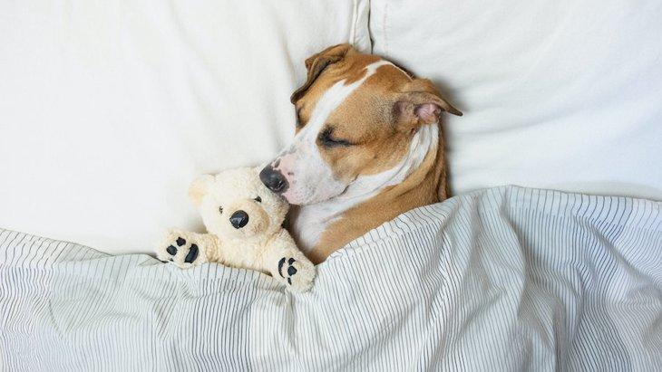 犬が飼い主のベッドに入ってくる心理3選!一緒に寝たいの?注意すべきポイントは?