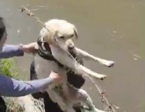 非番の警察官と近所の住人が協力!強い流れの水路を渡れない犬を無事救助。