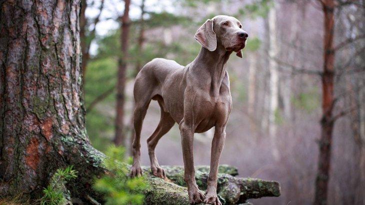 ワイマラナーの性格と特徴、飼い方や子犬の価格まで