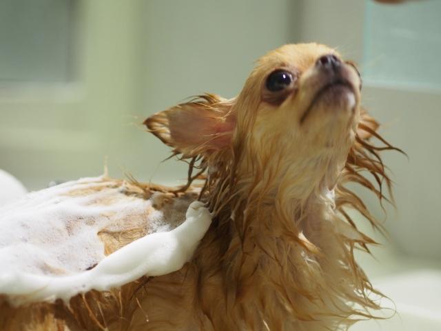 愛犬の風呂嫌いを克服する方法!サロンと自宅の違いについて