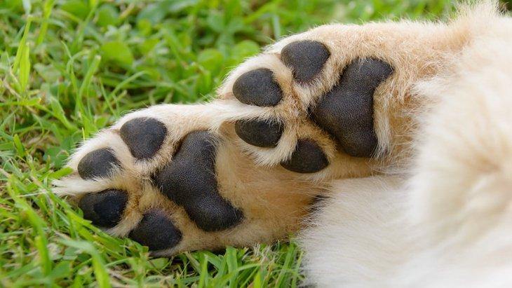 犬の肉球が傷つく原因と家庭での対処法について