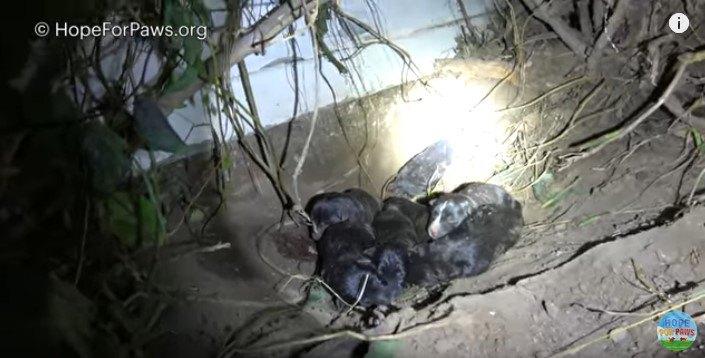 もう1匹いた!多産な若い母犬は、子犬たち全部を守ろうと頑張りました